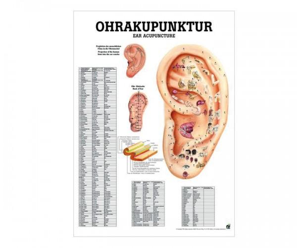 anatomisches poster ohrakupunktur