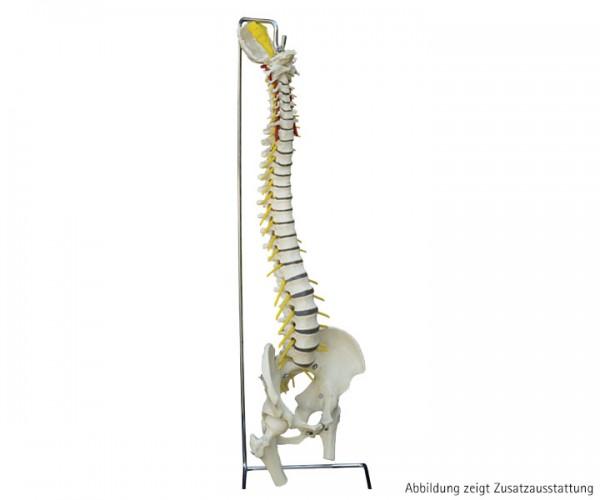 Flexible Wirbelsäule standard